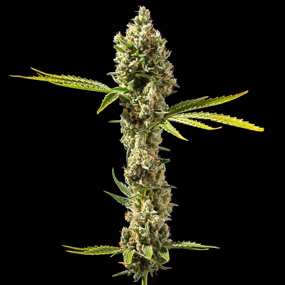 Clementine Plant Shot by DNA Genetics