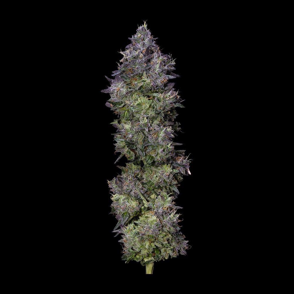 Gelato Sorbet Full Plant Shot by DNA Genetics