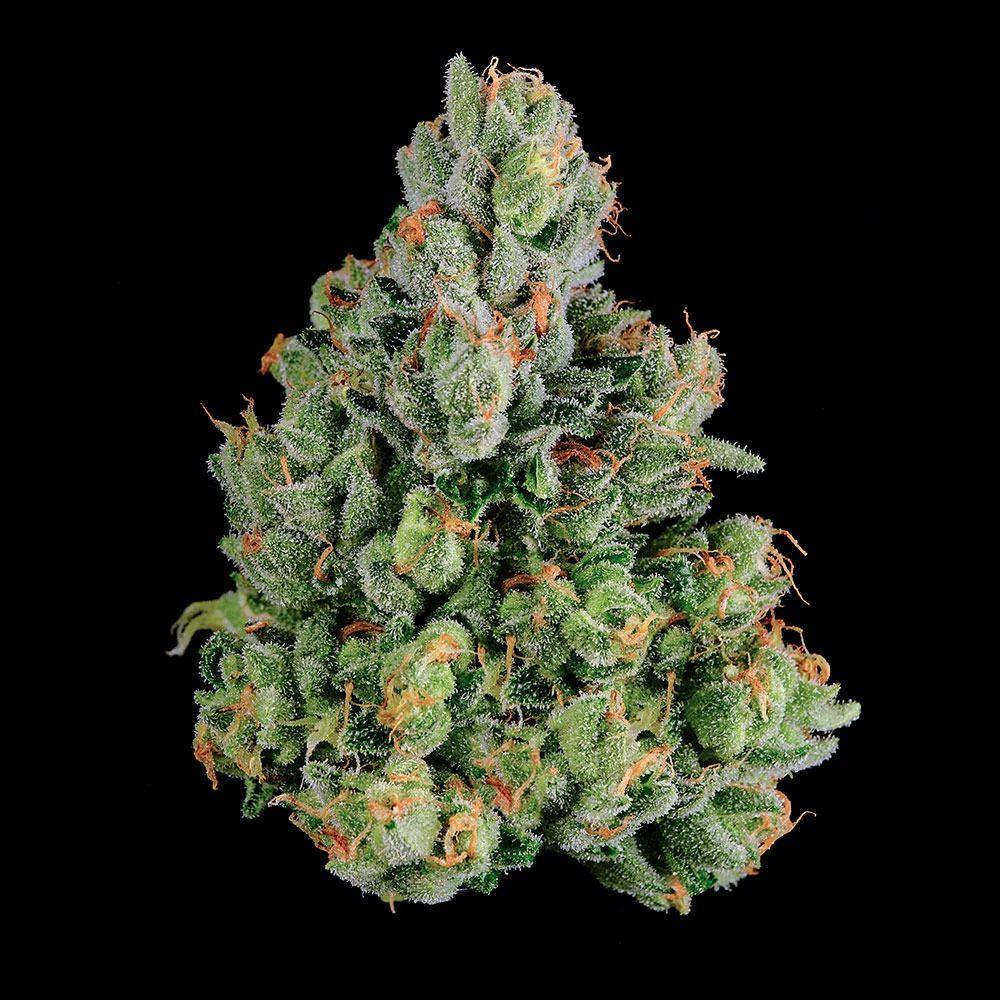 DNA Genetics Kosher Dawg Cannabis
